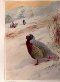 Pheasants; Their Lives and Homes. Animals, William Beebe, published under the auspices of the New York Zoological Society.